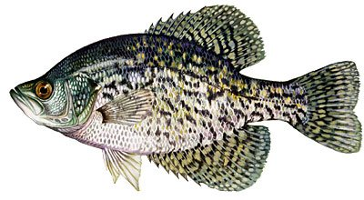 Species of fish in florida bass fishing florida black crappie sciox Images