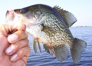 Lake Toho Crappie Fishing Trips